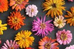 Growing Zinnias in North Texas, Dallas, and Fort Worth